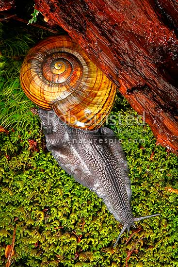 Hochstetter's giant landsnail (Powelliphanta hochstetteri) emerging from under rotting log at night, on mossy forest floor. Threatened NZ native, Takaka Hill, New Zealand (NZ) stock photo.