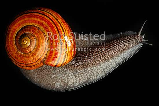 New Zealand Hochstetter's giant landsnail (Powelliphanta hochstetteri) dorsal view on black backgroud. Threatened NZ native terrestrial mollusc, Takaka Hill, New Zealand (NZ) stock photo.
