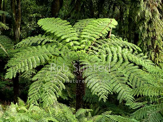 Silver fern (Cyathea dealbata). New Zealand native Silver Tree Fern or native Ponga, amongst native forest, New Zealand (NZ) stock photo.