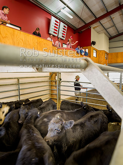 Livestock auctions. Weaner Angus and Angus cross calves for sale at Feilding livestock saleyards. Cattle auction, Feilding, Manawatu District, Manawatu-Wanganui Region, New Zealand (NZ) stock photo.