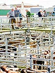 Cattle Sales, Feilding
