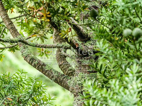 Kauri tree crown and branches amongst foliage, leaves and cones (Agathis australis). Bark covered in lichens in upper tree, New Zealand (NZ) stock photo.