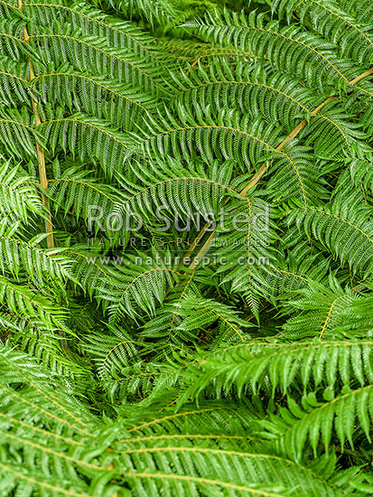Silver fern fronds. Native tree fern leaves from above (Cyathea dealbata), New Zealand (NZ) stock photo.