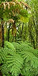 NZ forest interior, veritical pano