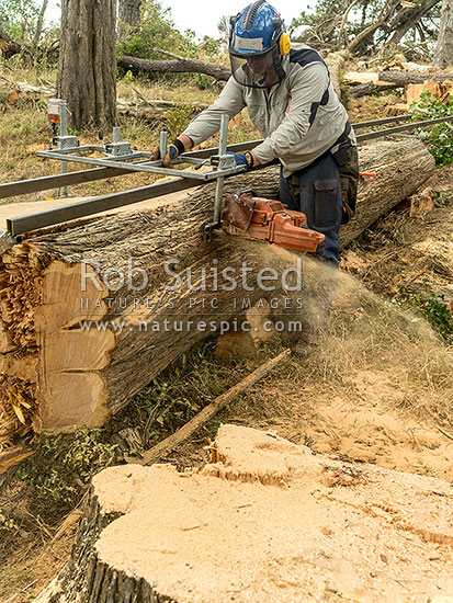 Milling large Macrocarpa (Cupressus macrocarpa, Monterey Cypress) with chainsaw mill, into timber. First cant being milled off, New Zealand (NZ) stock photo.