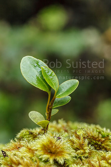 Broadleaf tree seedling (Griselinia littoralis) growing on forest floor. NZ native species. Kapuka, New Zealand (NZ) stock photo.