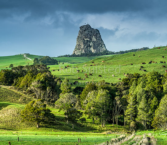 Dairy farming, dairy cattle and farmland below dramatic Maungaraho Rock (221m) peak. Native forest remnant below. Square format, Dargaville, Kaipara District, Northland Region, New Zealand (NZ) stock photo.