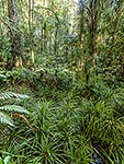 Kauri forest wetland, Northland