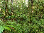 Kauri forest interior, Northland