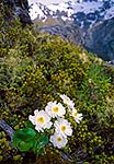 Mount Cook Lily flowers