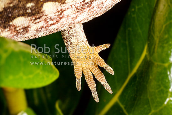 Forest Gecko hand or feet showing under surface scales and claws on palm and toes (Mokopirirakau granulatus, previously Hoplodactylus granulatus). NZ endemic lizard species, New Zealand (NZ) stock photo.