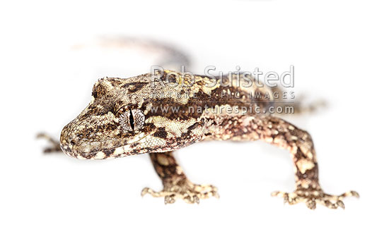 Forest Gecko (Mokopirirakau granulatus, previously Hoplodactylus granulatus). NZ endemic lizard species, on white clearcut background. Male lizard, New Zealand (NZ) stock photo.