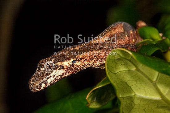 Forest Gecko foraging at night (Mokopirirakau granulatus) amongst coprosma leaves. NZ endemic lizard species. Male lizard (previously Hoplodactylus granulatus), New Zealand (NZ) stock photo.