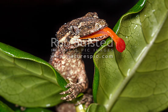 Forest Gecko (Mokopirirakau granulatus) licking water off leaves at night. NZ endemic lizard species. Male lizard (previously Hoplodactylus granulatus), New Zealand (NZ) stock photo.