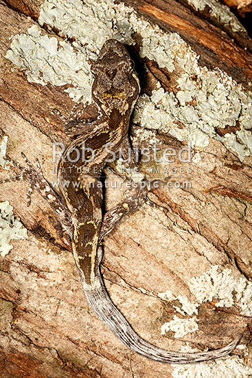 Forest Gecko (Mokopirirakau granulatus), very well camouflaged amongst tree bark and lichen. NZ endemic lizard species (previously Hoplodactylus granulatus), New Zealand (NZ) stock photo.