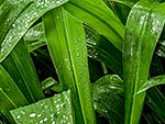 Water on leaves. NZ Rengarenga lily