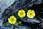 Mountain buttercups