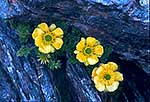 3 native buttercup flowers