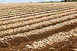 Onion harvesting, South Auckland