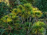 Cabbage tree, NZ native