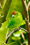Red-crowned parakeet, NZ native