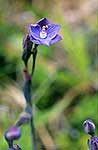 Native Sun Orchid
