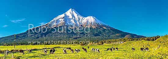 Mt Taranaki (2518m) and young dairy cattle grazing. Egmont National Park, beyond dairy farmland. Panorama, Opunake, South Taranaki District, Taranaki Region, New Zealand (NZ) stock photo.