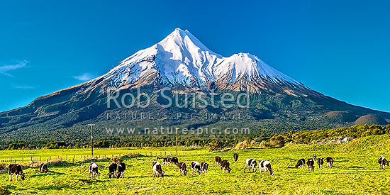 Mt Taranaki (2518m) and young dairy cattle. Egmont National Park, beyond dairy farmland. Panorama, Opunake, South Taranaki District, Taranaki Region, New Zealand (NZ) stock photo.