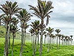 Nikau Palm trees and sea fog