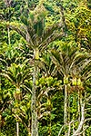 Nikau Palm trees