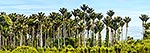 Nikau palm forest panorama