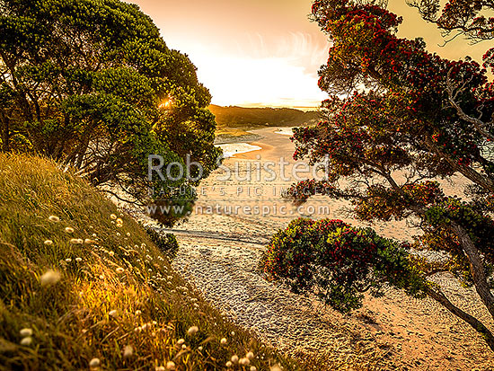 Sunset over Otama Beach, flowering Pohutukawa trees and golden sand, Otama Beach, Coromandel Peninsula, Thames-Coromandel District, Waikato Region, New Zealand (NZ) stock photo.