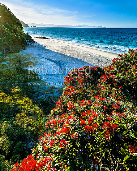 Otama Beach and flowering pohutukawa trees (Metrosideros excelsa, pohutukawa), Otama Beach, Coromandel Peninsula, Thames-Coromandel District, Waikato Region, New Zealand (NZ) stock photo.