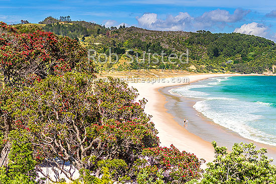 Otama Beach with flowering Pohutukawa trees (Metrosideros excelsa, pohutukawa) lining the bay. People walking on beach, Otama Beach, Coromandel Peninsula, Thames-Coromandel District, Waikato Region, New Zealand (NZ) stock photo.