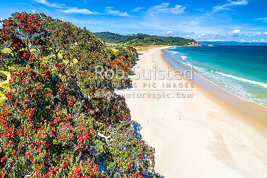Otama Beach and Otama Bay, with flowering Pohutukawa trees lining the foreshore. Motuhua Point beyond. Aerial view, Otama Beach, Coromandel Peninsula, Thames-Coromandel District, Waikato Region, New Zealand (NZ) stock photo.