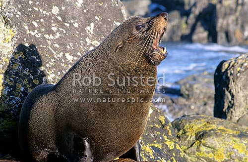 Bull Fur seal on rocks (Arctocephalus forsteri). Wellington South Coast, Wellington, New Zealand (NZ) stock photo.