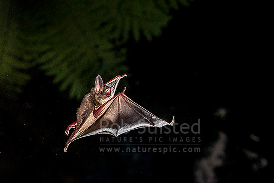 Short-tailed bat (Mystacina tuberculata) flying at night (lesser short-tailed bat - pekapeka-tou-poto). Endemic NZ bat. Seen from below as it flies on it's side looking down, Pureora Forest, Waitomo District, Waikato Region, New Zealand (NZ) stock photo.