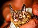 NZ Short-tailed bat