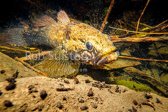 Giant bully (Gobiomorphus gobioides), an endemic NZ coastal stream fish. Here a 250mm long fish lies in wait in a deep forest stream. Photographed in the wild, Kapiti Coast District, Wellington Region, New Zealand (NZ) stock photo.