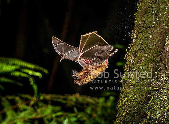 Short-tailed bat (Mystacina tuberculata) flying at night (lesser short-tailed bat - pekapeka-tou-poto), Pureora Forest, Waitomo District, Waikato Region, New Zealand (NZ) stock photo.
