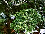 Mountain beech foliage