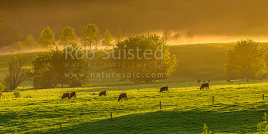 Cattle grazing on spring morning near Mangatawhiri, with mist cloaking the rolling lush pasture and trees at dawn. Panorama, Happy Valley, Hunua, Franklin District, Waikato Region, New Zealand (NZ) stock photo.