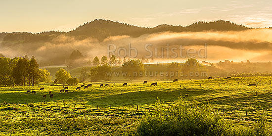 Farmland with grazing cattle at dawn, with morning mist hanging over the Hunua Ranges. Lush pasture and trees at sunrise, near Mangatawhiri. Panorama, Happy Valley, Hunua, Franklin District, Waikato Region, New Zealand (NZ) stock photo.