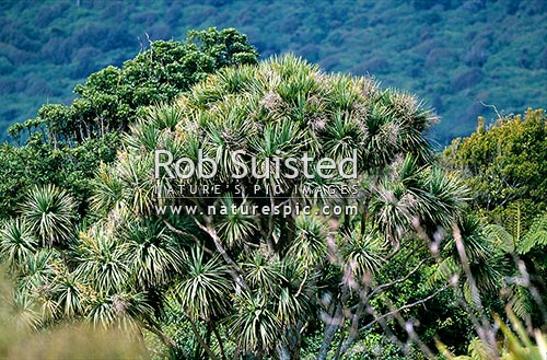 Cabbage tree (Cordyline australis), Waikanae, New Zealand (NZ) stock photo.