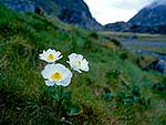 Giant alpine buttercups