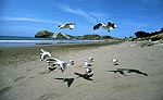 Red billed gulls flying over sand