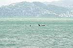 Killer whales in Wellington