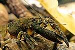 NZ freshwater crayfish
