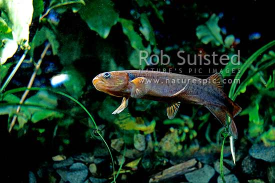 Short jawed kokopu (Galaxis postvectis) in deep forest pool, Taranaki, New Zealand (NZ) stock photo.