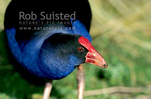Pukeko (Porphyrio melanotus), Waikanae, New Zealand (NZ) stock photo.